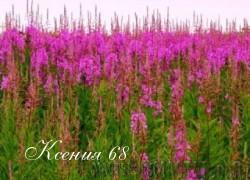 Ксения 68 - Как заготовить и чем полезен Иван-чай?
