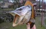Ксения 68 - Чучело из головы рыбы.МК