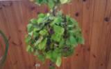 """Olivka - Стильное дерево из """"Дикого винограда"""""""