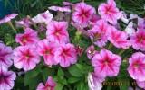 Щипицина Юлия - Мои цветочки